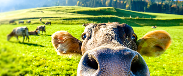 Performance Livestock Analytics: Big Data Comes to the Livestock Industry